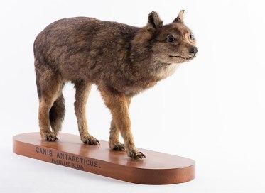 Falklandwolf ausgestopft