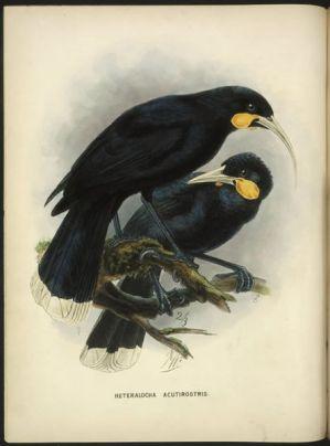 Huia oder Lappenhopf (Heteralocha acutirostris) - Illustration von Keulemans