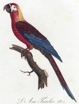 ara tricolor Dreifarbenara