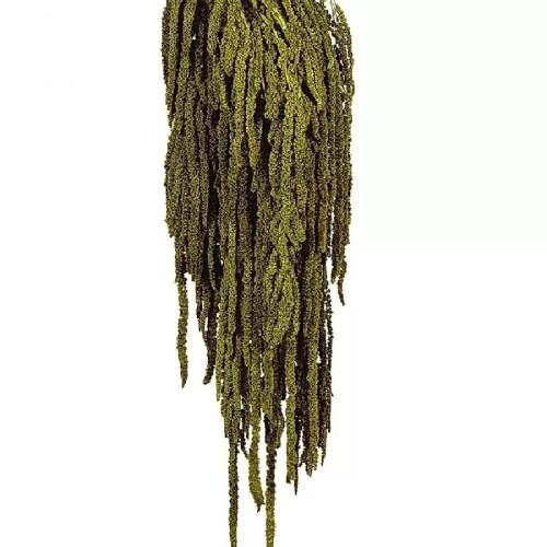 Amaranthus conservat Verde Olive