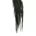 Amaranthus conservat Verde inchis