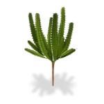 Cactus mini euphorbia