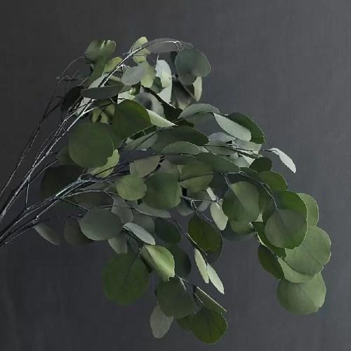 Eucalipt banut verde 2 pic