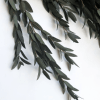 Eucalipt parvifolia detaliu