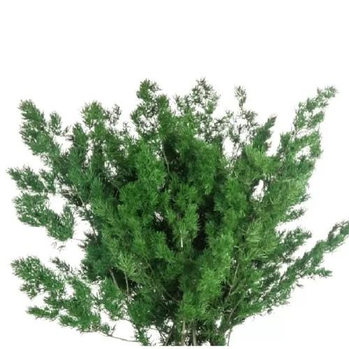 Feriga Ming verde