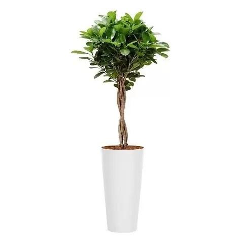 Ficus copacel natural sintetic alb