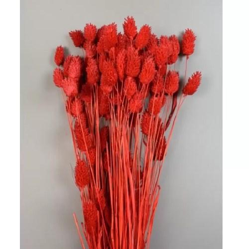 Phalaris rosu set