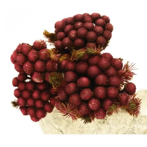 Planta conservata Brunia burgundy
