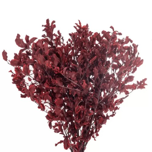 Planta conservata Pittosporum Red