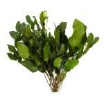 Planta conservata Salal