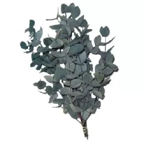 eucalipt conservat