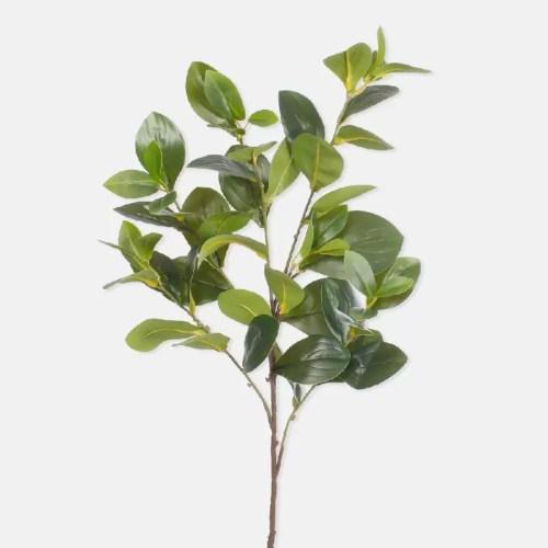Creanga Ficus