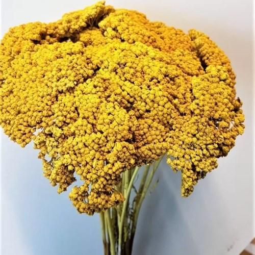Planta uscata achilea galben