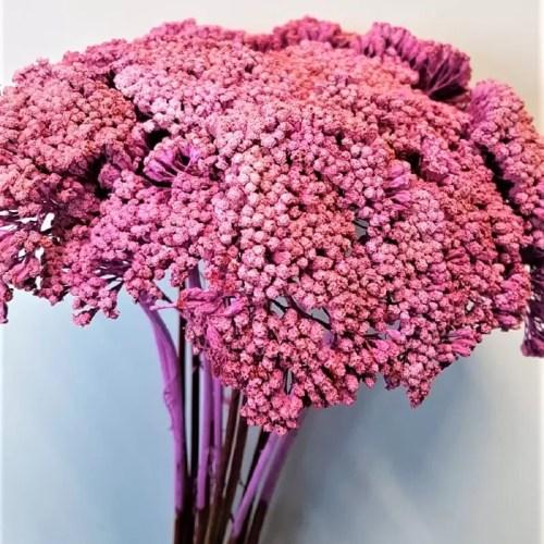 Planta uscata achilea roz