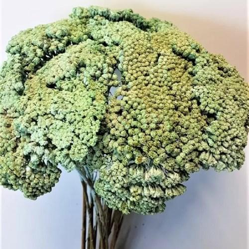 Planta uscata achilea verde deschis