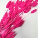planta uscata lagurus fucsia