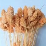 planta uscata phalaris mini piersica