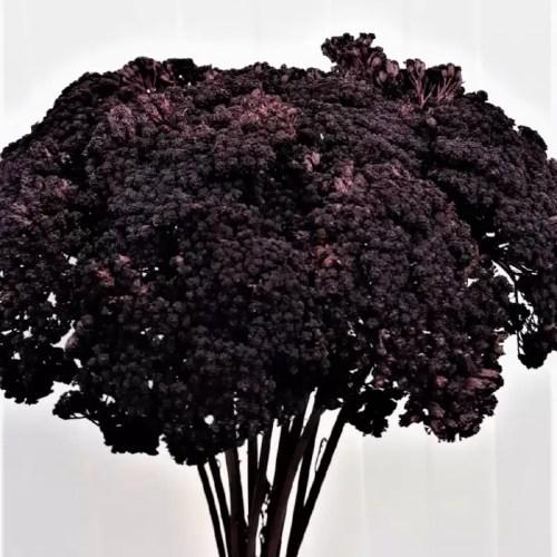 Achillea negru set
