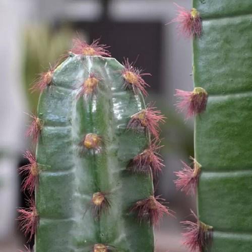 Cactus Euphorbia 140cm pic