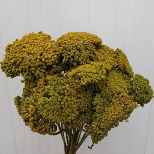 Achillea verde oliv set
