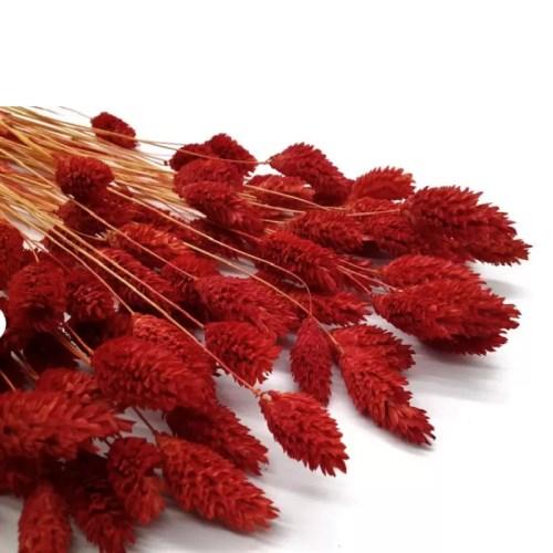 Phalaris rosu inchis