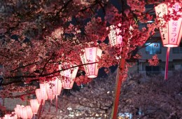 10 Fakta Menarik Mengenai Bunga Sakura