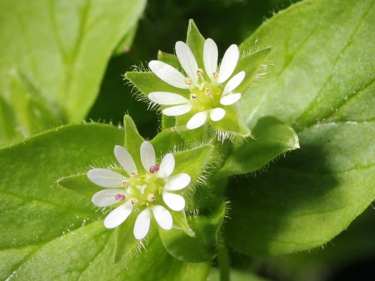 Ini Dia Rahasia Sehat Orang Jepang Dengan 7 Tumbuhan Herbal Musim Semi !