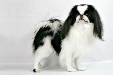 10 Jenis Anjing Ras Jepang Yang Terkenal Di Dunia
