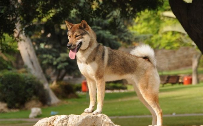 10 Jenis Anjing Ras Yang Disukai di Jepang 10