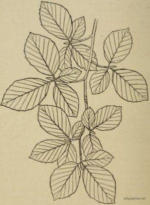 leaves on twigs  anatomy of trees