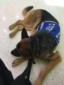 Elke Service Dog Training
