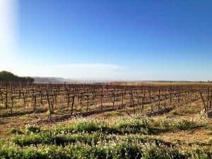 Vines in Raimat, Lleida Spain