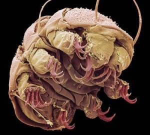 Tardigrades: Also known as water bears. Microscopic image.