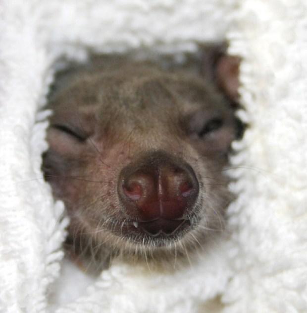 Peek-a-boo sleeping. Photo credit: Bat World Sanctuary, inc.