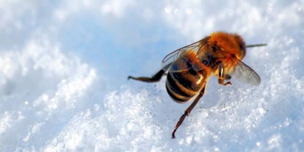 A honeybee struggling in the snow, (inhabitat.com).