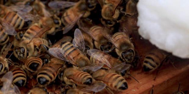 Honeybees huddled together for warmth, (www.nj.com).