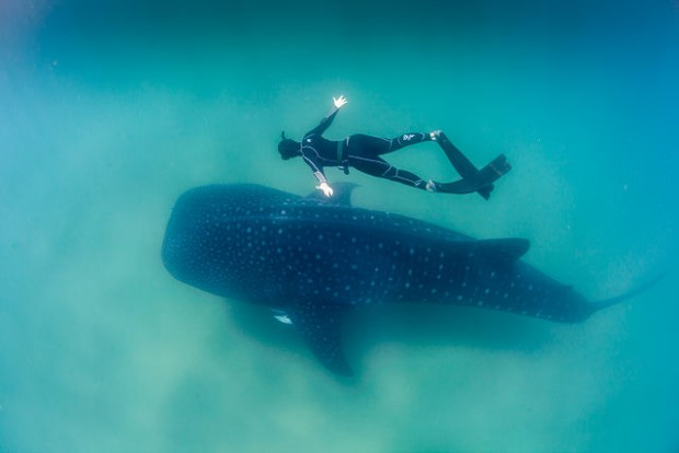 Photo of whale shark and free diver