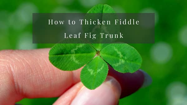 how to thicken fiddle leaf fig trunk