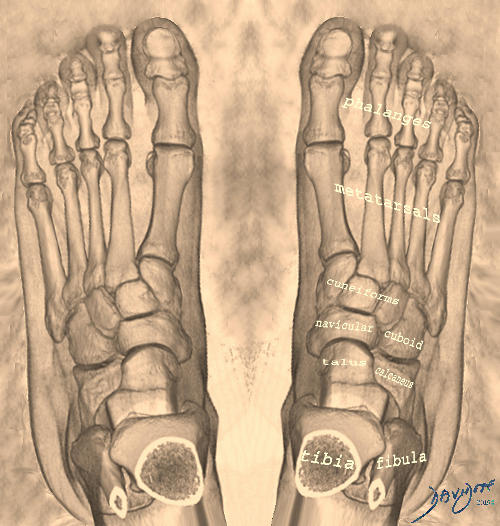 Anatomy of the Foot in En Pointe Dance   Art In Anatomy