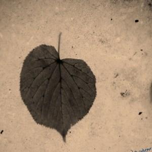 heart, heart shape, Linden tree, heartbreak, bleeding heart, flower, leaf, leaves, heart shape, Valentine's day, loss, romance, love, lost love