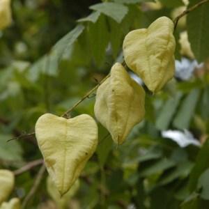 heart, heart shape, Golden Rain tree, flower, husk, heart shape, Valentine's day, romance, love,