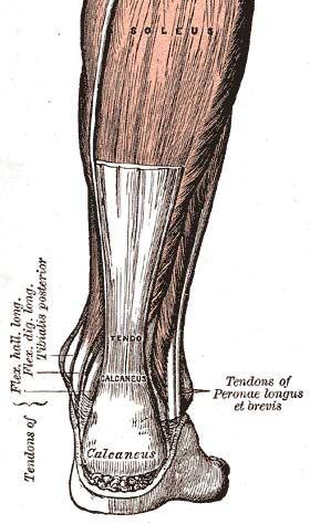 The Achilles' tendon connect the muscles of the calf to the heel | source: Gray's Anatomy (public domain)