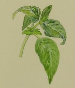 Basil as Botanical Art Subject in Watercolor