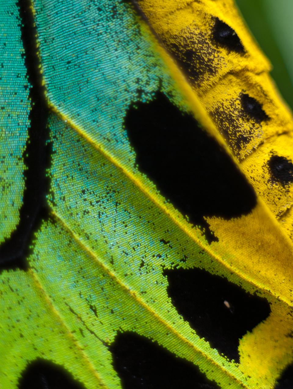 butterfly wing 6