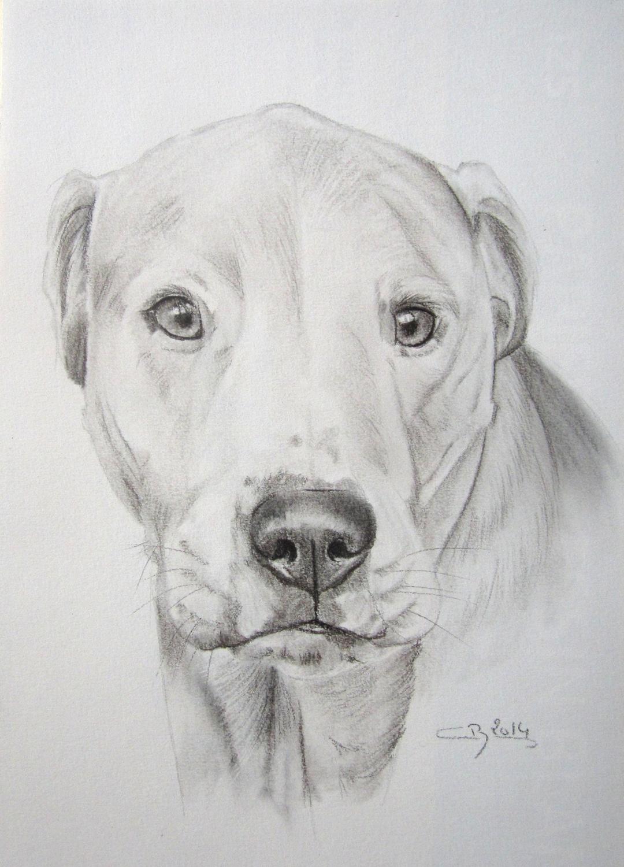 dogue-argentin-dessin
