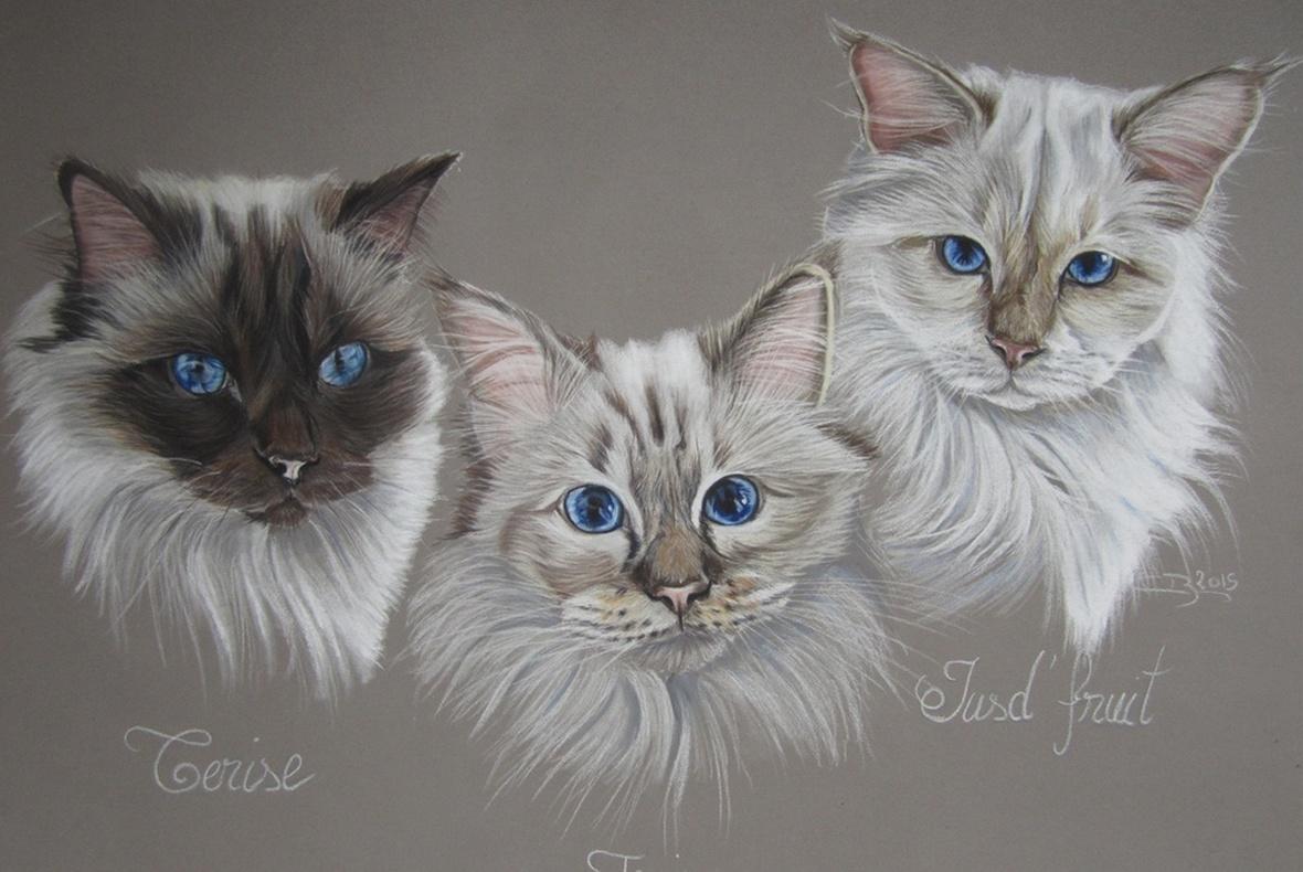 Dessin chats birmans