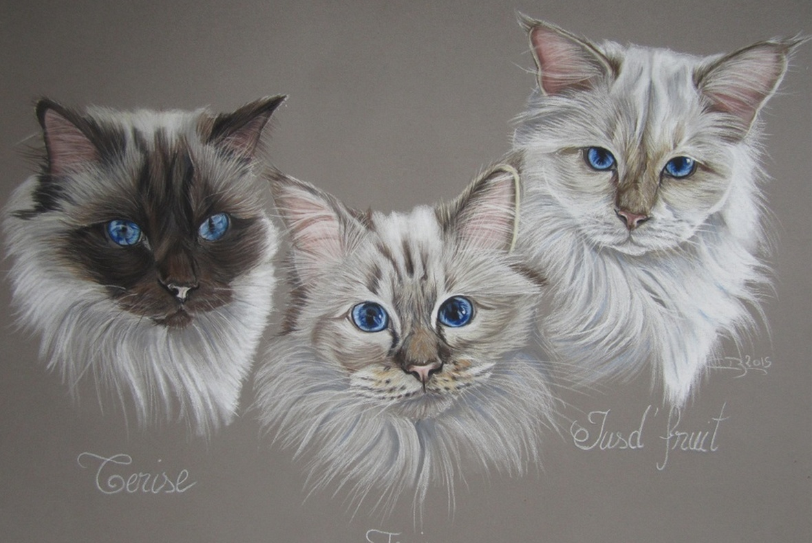 Dessin chats birmans