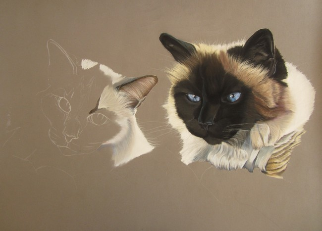 chats birmans pastels