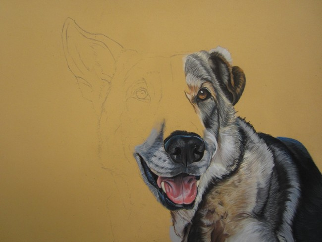 dessin chien loup saarloos