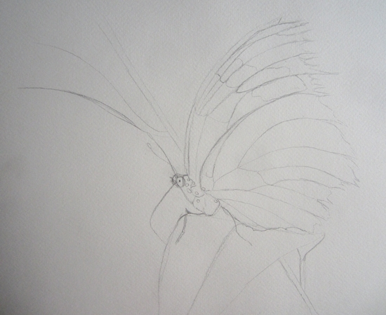 esquisse papillon